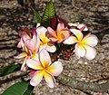 Plumeria Keiki - plumeria alba (3594138194).jpg