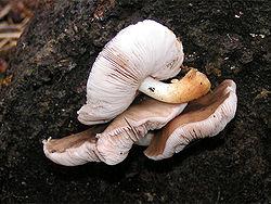 Pluteus cervinus01.jpg