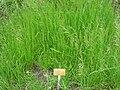 Poa pratensis - Berlin Botanical Garden - IMG 8536.JPG