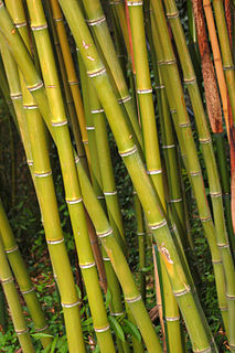 <i>Phyllostachys bambusoides</i> species of plant