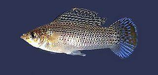 Sailfin molly species of live-bearing toothcarps