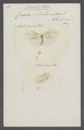 Poeciloptera - Print - Iconographia Zoologica - Special Collections University of Amsterdam - UBAINV0274 042 03 0016.tif