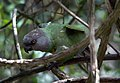 Poicephalus senegalus -Birds of Eden, South Africa-8a.jpg