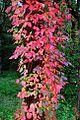 Poison Oak (Douglas County, Oregon scenic images) (douDA0085a).jpg
