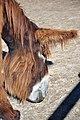 Poitou Donkey 2872.jpg