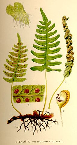 Polypodium vulgare-NF