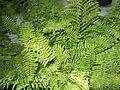 Polystichum setiferum-yercaud-salem-India.JPG
