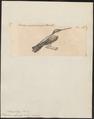 Polytmus albicollis - 1700-1880 - Print - Iconographia Zoologica - Special Collections University of Amsterdam - UBA01 IZ19100083.tif