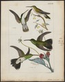 Polytmus tephrocephalus - 1820-1860 - Print - Iconographia Zoologica - Special Collections University of Amsterdam - UBA01 IZ19100105.tif