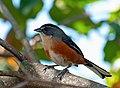 Poospiza lateralis -Extrema, Minas Gerais, Brazil-8.jpg