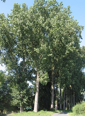 Canadian poplar (Populus × canadensis)