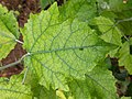 Populus × canescens 148771996.jpg