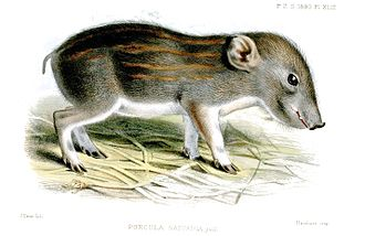 Pygmy hog - Painting of a piglet born in the zoological garden in London in 1883