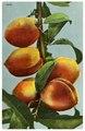 Postcard of peaches - DPLA - 3a8f4a513824d59c062c97f0f1950203.pdf