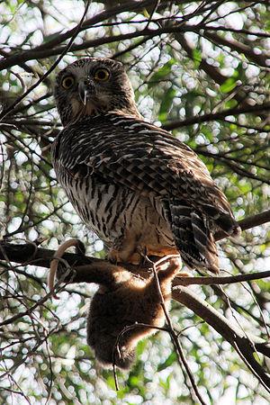 Powerful owl - Powerful owl with its prey.