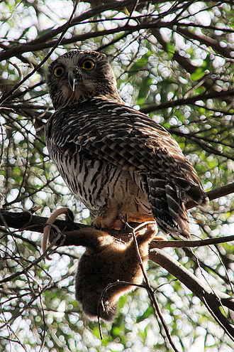 Powerful owl - Powerful owl with its prey.