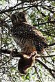 Powerful Owl 2014.JPG