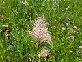 Prairie Smoke in Bloom.jpg