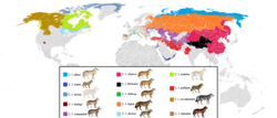 Present distribution of gray wolf (canis lupus) subspecies.png