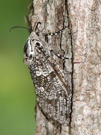 Prionoxystus robiniae - Image: Prionoxystusrobiniae