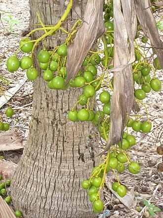 Pritchardia schattaueri - Image: Pritchardia schattaueri, Koko Crater Botanical Garden IMG 2252