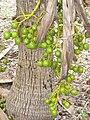 Pritchardia schattaueri, Koko Crater Botanical Garden - IMG 2252.JPG