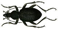 Procerus caucasicus from Jacobson.jpg
