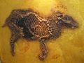 Propalaeotherium parvulum.jpg