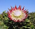 Protéa royale à Stellenbosch (Afrique du Sud) (cropped).jpg