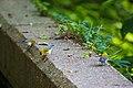 Prothonotary warbler (35775419120).jpg