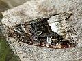 Protodeltote pygarga - Marbled white spot - Совка-листовёртка тёмно-бурая (41056806391).jpg
