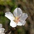Prunus cerasifera - Prunier myrobalan - Fleur-20180429.jpg