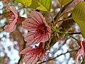 Prunus cerasoides.jpg