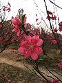 Prunus persica (Nhật Tân).jpg
