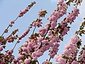 Prunus serrulata11.JPG