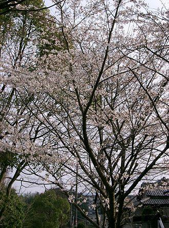 Prunus × yedoensis - Image: Prunus x yedoensis 2