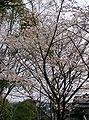 Prunus x yedoensis2.jpg