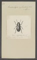 Pseudocolaspis - Print - Iconographia Zoologica - Special Collections University of Amsterdam - UBAINV0274 036 02 0002.tif