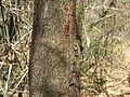 Pterocarpus santalinus 14.JPG