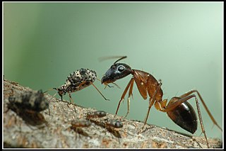 Voška a mravec