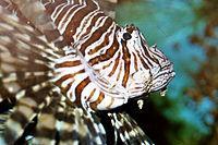 Antennata Lionfish (Pterois antennata)