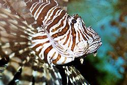 Red lionfish, Pterois volitans