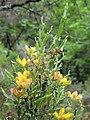 Pterospartum tridentatum. Carquexa.jpg