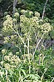Purple-stemmed Angelica (Angelica atropurpurea) - London, Ontario.jpg