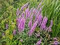 Purple flowers (43241355425).jpg