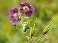 Purpur-Storchschnabel (Geranium phaeum ssp. lividum).jpg
