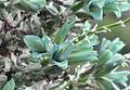 Puya alpestris ssp zoellneri Cuesta Las Chilcas 17.JPG