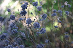 Pycnanthemum muticum spend seed heads 001.JPG