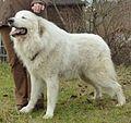 Pyrenäen-Berghund Rüde 2,5 Jahre alt.jpg