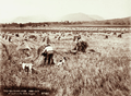 Queensland State Archives 2377 Workers in field stacking wheat Yangan 1899.png